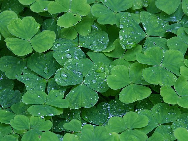 Folium: Inspirational St. Patrick's Day Quotes on Parenting via Strollerderby (Image via Wikimedia Commons)