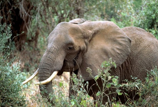 Folium: Elephants Communicate Too via National Geographic
