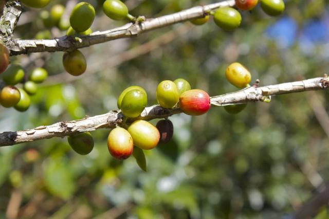 Terra: Doka Estate Coffee Plantation, Costa Rica