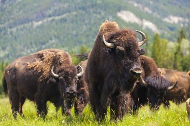 Buffalo buffalo Buffalo buffalo buffalo buffalo Buffalo buffalo.