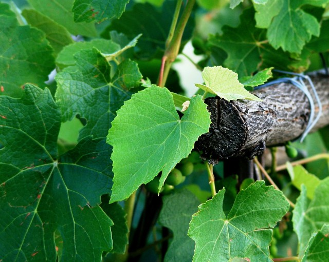 Spanish Vocabulary: Viticulture and Enology - Horticulture